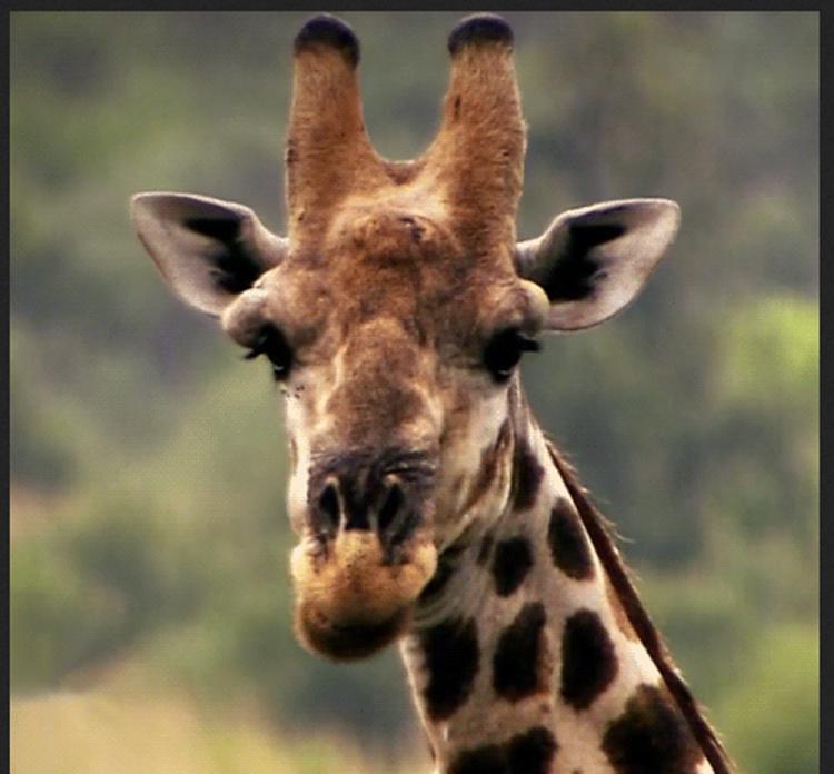 giraffe_1000px